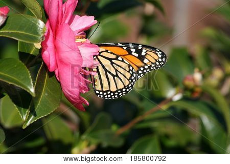 Side view of Monarch Butterfly on pink Camellia