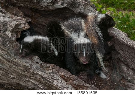 Striped Skunk (Mephitis mephitis) Vixen With Kits in Log - captive animals