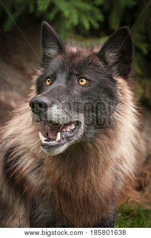 Black Phase Grey Wolf (Canis lupus) Looks Up - captive animal