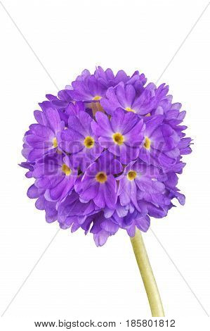 Violet Cowslip Flower On A White Background