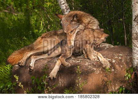 Grey Wolf (Canis lupus) Holds Pup - captive animals