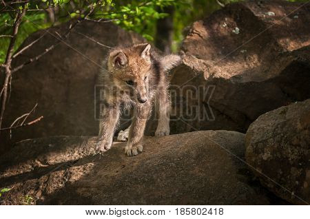 Grey Wolf (Canis lupus) Pup Looks Right from Atop Rock - captive animal