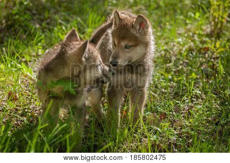 Grey Wolf (Canis lupus) Pups Look at Each Other - captive animals