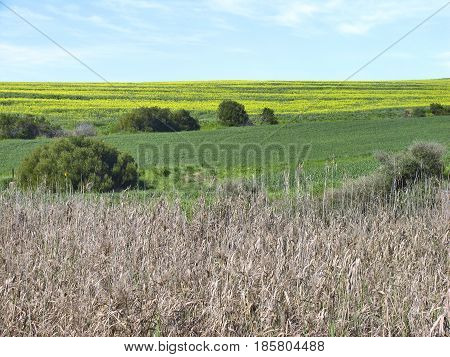DURBANVILLE, CAPE TOWN, SOUTH AFRICA, LANDSCAPE, WITH HIGH GRASS IN THE FORE GROUND AND CANOLA FIELDS IN THE BACK GROUND