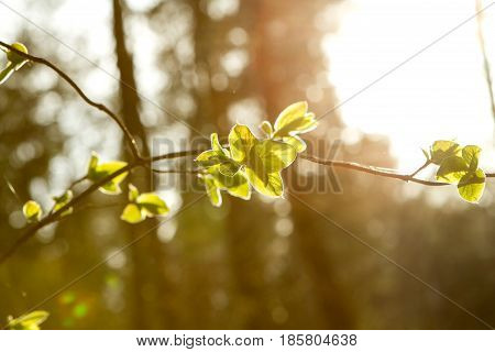young green little leaves on branch on natural sunset background