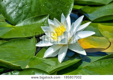 Beautiful White lily on the lake among green leaves