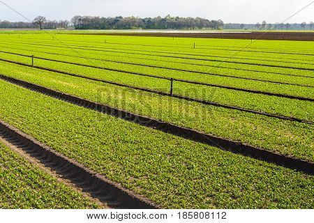 Recent sown plants in long beds in the field of a horticultural farm in the Netherlands. It is springtime now.