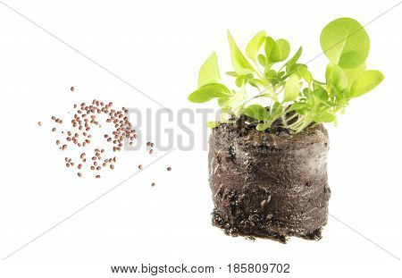 Seeds and seedling of tobacco (Nicotiana tabacum) isolated on white background