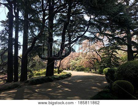 Alley and blooming sakura in Yoyogi Park in Tokyo