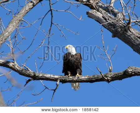 A bald eagle perched in a tree poster