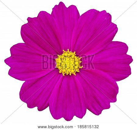 Purple Cosmos Flower Isolated On White With Clipping Path