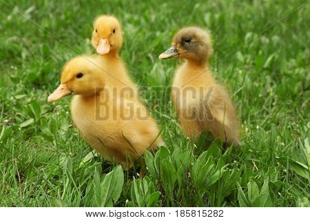 Cute ducklings on green grass, closeup