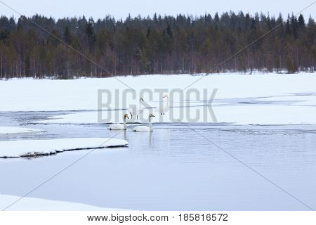 Swans on partially frozen lake in Finland at spring