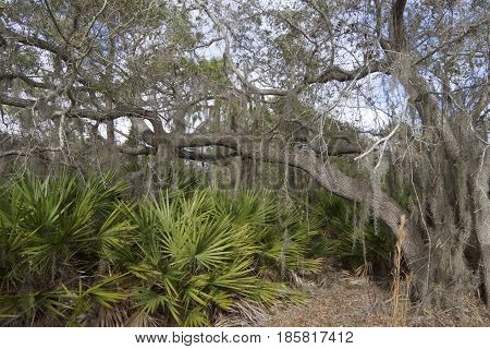 A dense Florida forest ecosystem with trees lichen and other flora adapted to the warmer climate