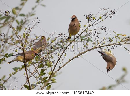A group of Cedar Waxwings (Bombycilla cedrorum) eats berries from a privet bush