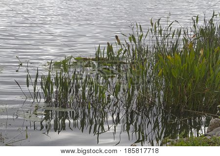 Close up of a Florida wetlands lake in winter with floating water lilies and clumps of grass growing in the water and creating a wonderful habitat for aquatic wildlife