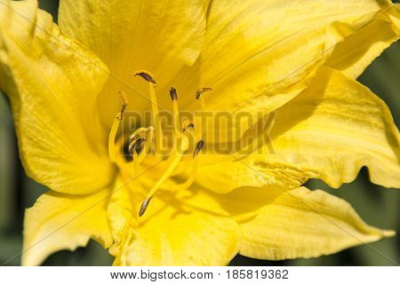 A close-up of the stamen and petals of a yellow flower.
