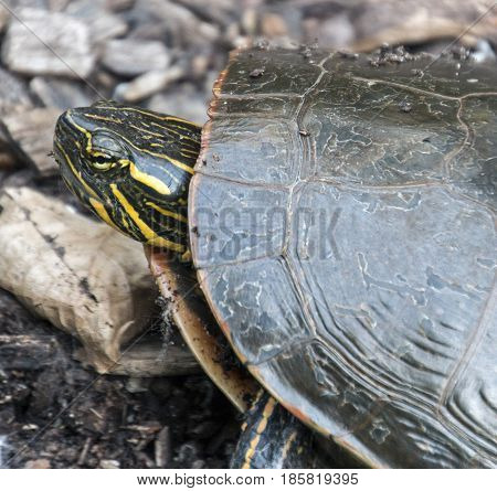 A turtle in Woodlake Nature Center in Richfield Minnesota.