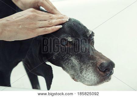 Human hand washing dog with soap. Horizontal photo
