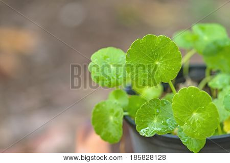 Close up green Asiatic Pennywort (Centella asiatica Hydrocotyle umbellata L or Water pennywort ) and water drop in pot on natural lightselective focus