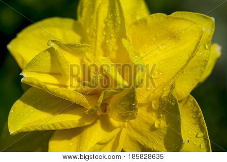 Macro image of yellow daffodil. A close up of a yellow daffodil in a garden.