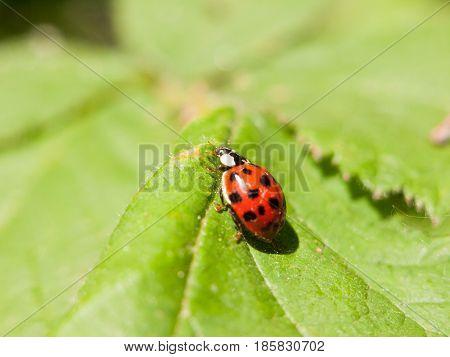 A Beautiful Ladybird Walking Across A Leaf Outside Macro Close Up Detail Spots Head And Eyes
