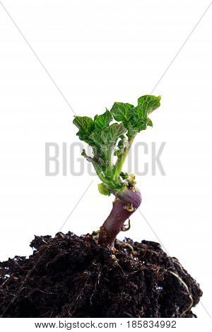 Green shoots of potatoes on the white background