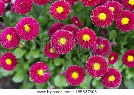 Dwarf Red Pompon English Meadow Papathy. Daisy