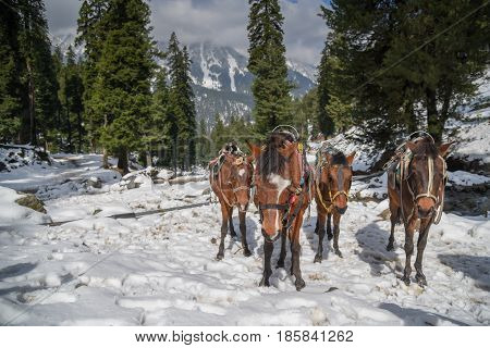 Group of horses on snow mountain and pine forest beautiful natural landscape in Pahalgam Jammu and Kashmir state North India