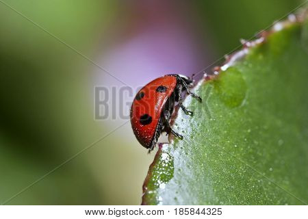 Scarce Seven-spotted Ladybird - Coccinella Magnifica