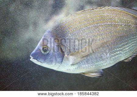 Sea Bream - Diplodus Sargus