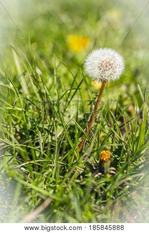 Seed head of a dandelion in the grass. Many people believe that dandelion seeds will carry your thoughts and dreams to loved ones when you blow them into the air.