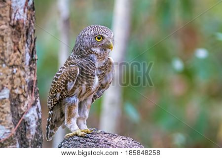 Close up beautiful bird Asian Barred Owlet (Glaucidium cuculoides) is a species of true owl standing on branch