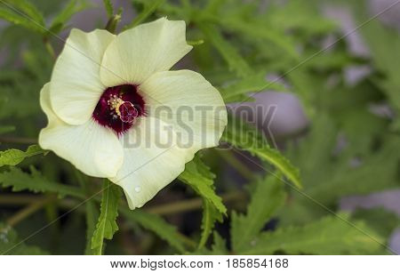Hibiscus or Clemson Spineless Okra beautiful blossoms in the garden.