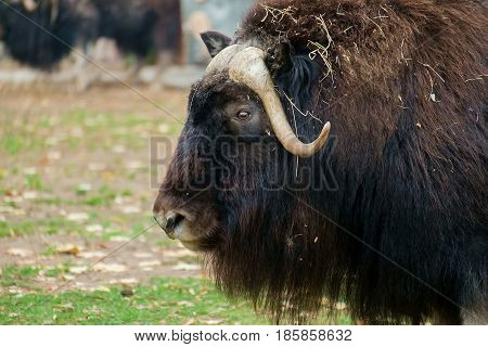 Large Buffalo, bison, sat down on a stump to rest.