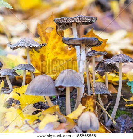 uneatable mushrooms in forest, autumn walk through forest
