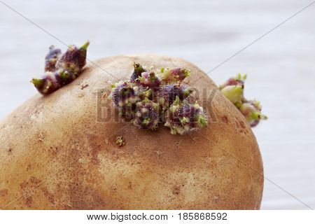 The potatoes with sprouts on a wooden background