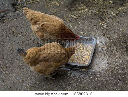 Two chicken feeding with corn grains on the ground