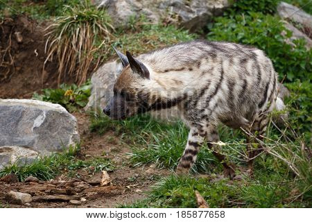 Striped hyena (Hyaena hyaena sultana), african animal