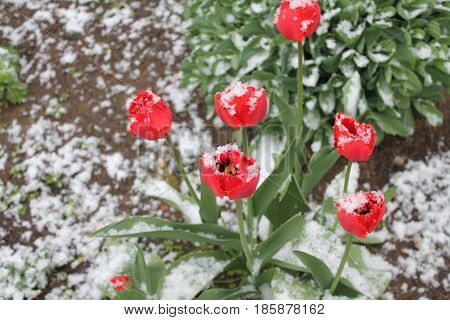 beautiful red garden tulips in full spring bloom covered white fluffy snow