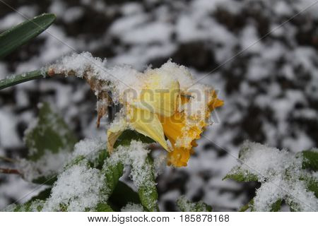 beautiful tender yellow flower in spring bloom covered white snow anomaly