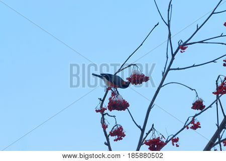 Red bullfinch sits on tree branch and eats in winter sunny day