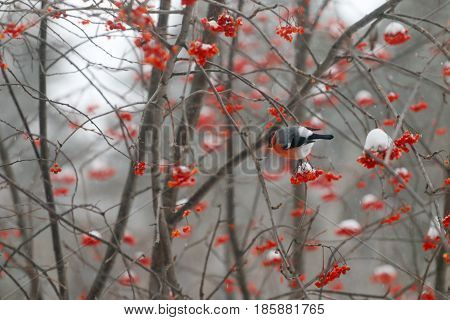Red bullfinch sits on tree branch and eats rowanberry in winter day
