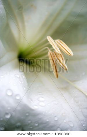 Madonna Lily