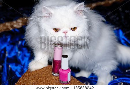 Persian cat, fashionista, going for a walk and paint the claws.