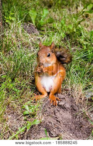 Red squirrel eating nuts in the woods in the summer,