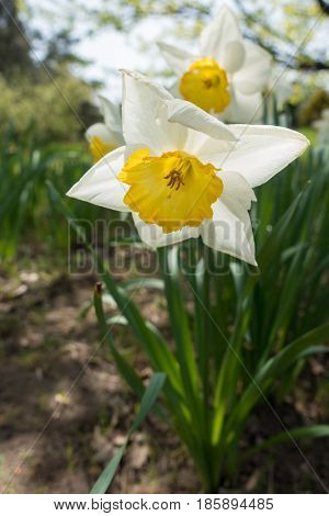Close Up Of White Flower Of Narcissus With Yellow  Trumpet-shaped Corona