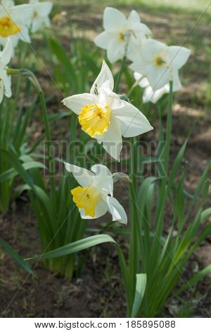 White Narcissuses In Full Bloom In The Garden