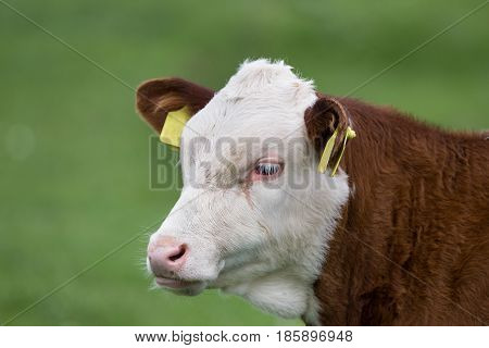 Portrait Of Calf