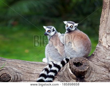 Two ring-tailed lemurs embraced together on a tree. Big eyes with lively color and classic long-sleeved white-black rings.